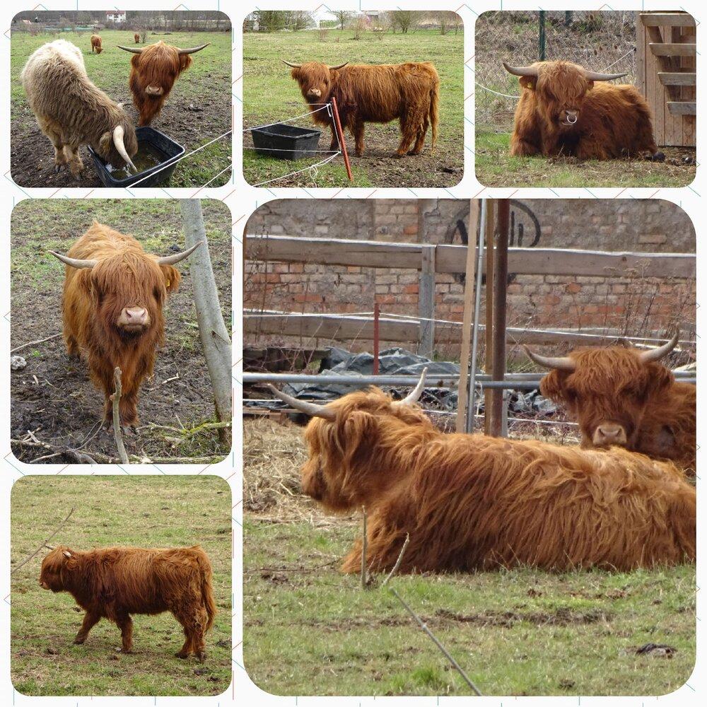 Cattles.jpg